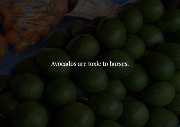 Fruit - Avocados are toxic to horses.