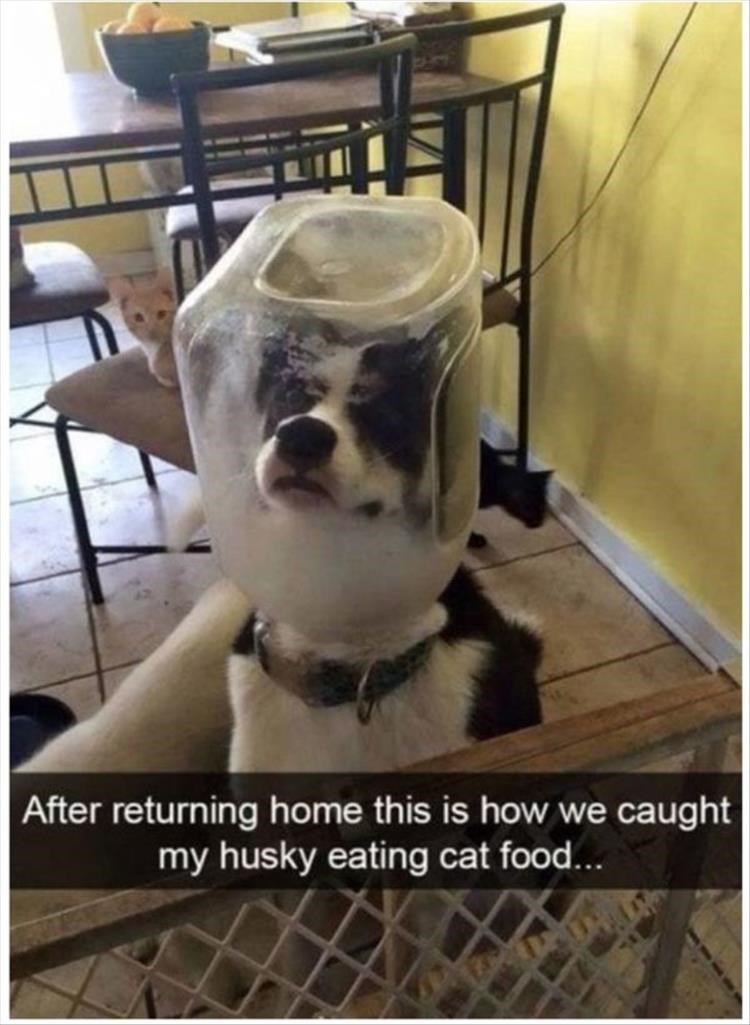 Head - After returning home this is how we caught my husky eating cat food...