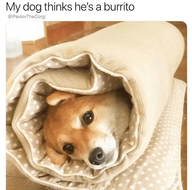 Dog - My dog thinks he's a burrito @PavlovTheCorgi