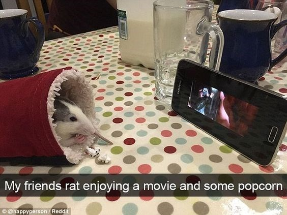 Table - 10 My friends rat enjoying a movie and some popcorn @happyperson Reddit
