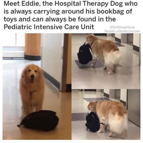 Dog - Meet Eddie, the Hospital Therapy Dog who is always carrying around his bookbag of toys and can always be found in the Pediatric Intensive Care Unit @DrSmashlove Reddit u/Stuffy Unicorn