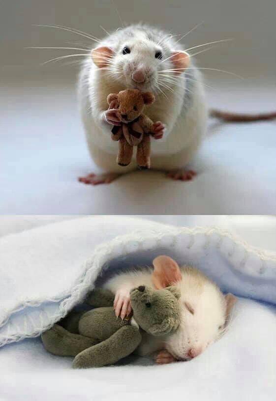 cute animals - Rat