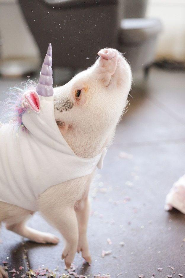 unicorn costume - Domestic pig