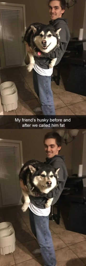 Dog - My friend's husky before and after we called him fat