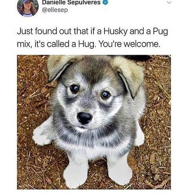 "Caption that reads, ""Just found out that if a husky and a pug mix, it's called a Hug. You're welcome"" above a pic of a ""hug"" puppy"