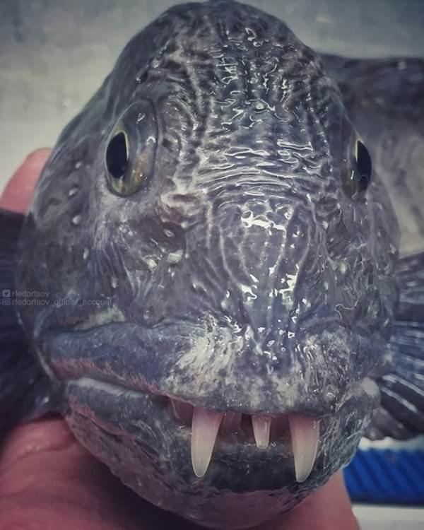 deep sea - Fish - Orledortsov edortsov oe neegun.