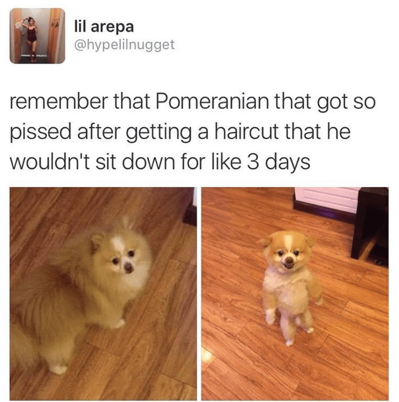 Dog - lil arepa @hypelilnugget remember that Pomeranian that got so pissed after getting a haircut that he wouldn't sit down for like 3 days