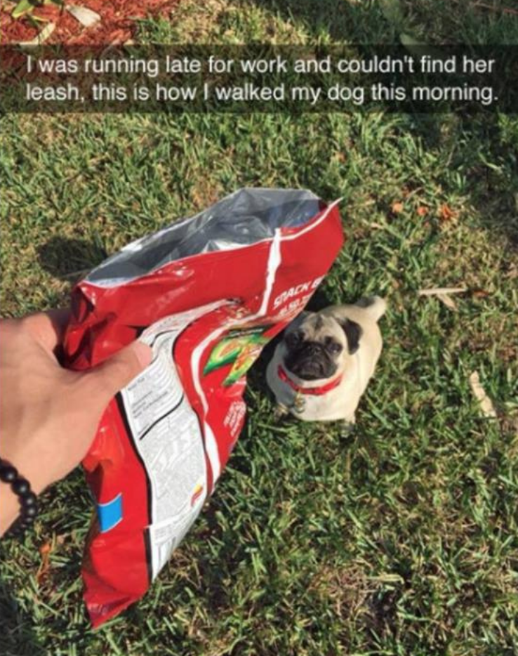 Pug - Twas running late for work and couldn't find her leash, this is how I walked my dog this morning SRACK