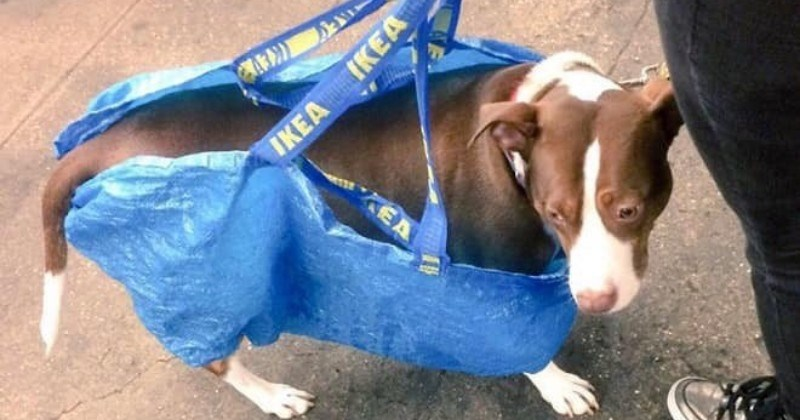 NYC people are told that they can't bring dogs onto subways, and proceed to put them in bags.