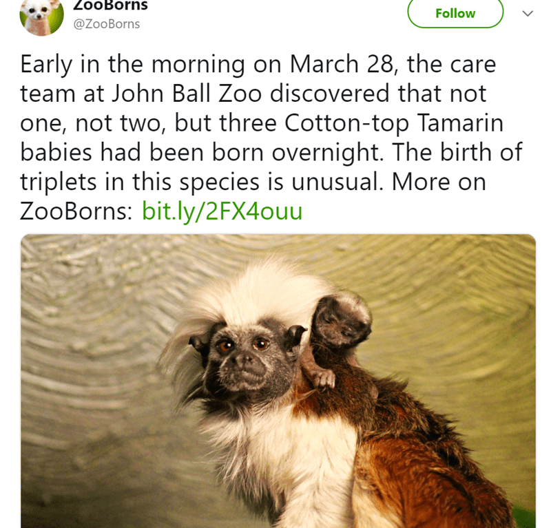 Adaptation - ZooBorns Follow @ZooBorns Early in the morning on March 28, the care team at John Ball Zoo discovered that not one, not two, but three Cotton-top Tamarin babies had been born overnight. The birth of triplets in this species is unusual. More on ZooBorns: bit.ly/2FX4ouu