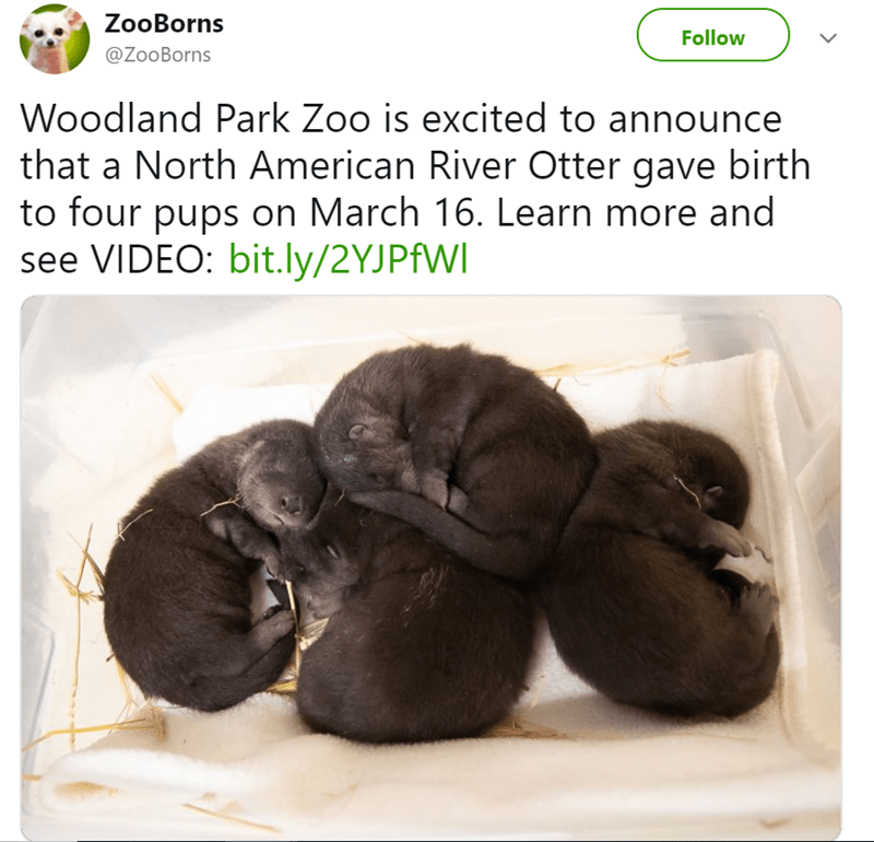 Puppy - ZooBorns Follow @ZooBorns Woodland Park Zoo is excited to announce that a North American River Otter gave birth to four pups on March 16. Learn more and see VIDEO: bit.ly/2YJPfWI