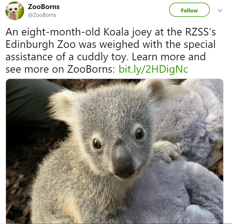 Vertebrate - ZooBorns Follow @ZooBorns An eight-month-old Koala joey at the RZSS's Edinburgh Zoo was weighed with the special assistance of a cuddly toy. Learn more and see more on ZooBorns: bit.ly/2HDigNc