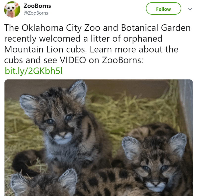 Wildlife - ZooBorns Follow @ZooBorns The Oklahoma City Zoo and Botanical Garden recently welcomed a litter of orphaned Mountain Lion cubs. Learn more about the cubs and see VIDEO on ZooBorns: bit.ly/2GKbh51