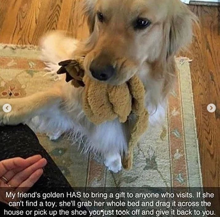 Dog - My friend's golden HAS to bring a gift to anyone who visits. If she can't find a toy, shell grab her whole bed and drag it across the house or pick up the shoe yourjust took off and give it back to you