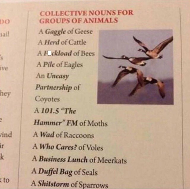 """Text - COLLECTIVE NOUNS FOR GROUPS OF ANIMALS A Gaggle of Geese mail A Herd of Cattle AF ckload of Bees A Pile of Eagles ive An Uneasy Partnership of Coyotes hey A 101.5 """"The Hammer"""" FM of Moths A Wad of Raccoons vind ir A Who Cares? of Voles k A Business Lunch of Meerkats A Duffel Bag of Seals A Shitstorm of Sparrows to"""