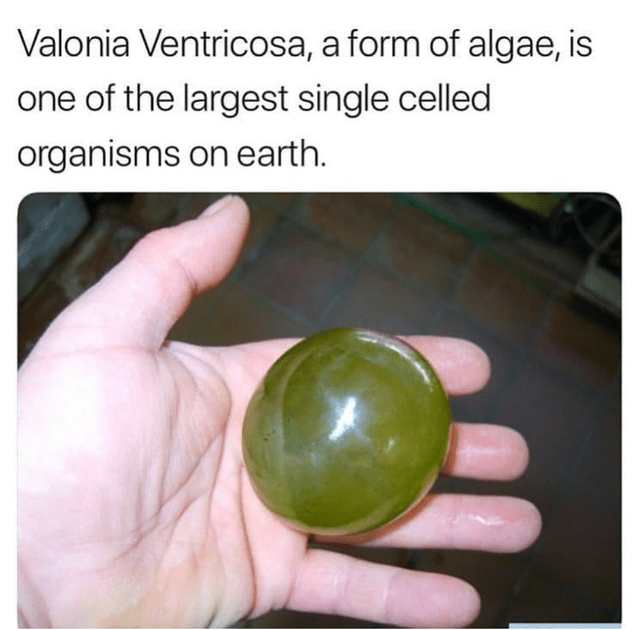 forbidden snack - Hand - Valonia Ventricosa, a form of algae, is one of the largest single celled organisms on earth.