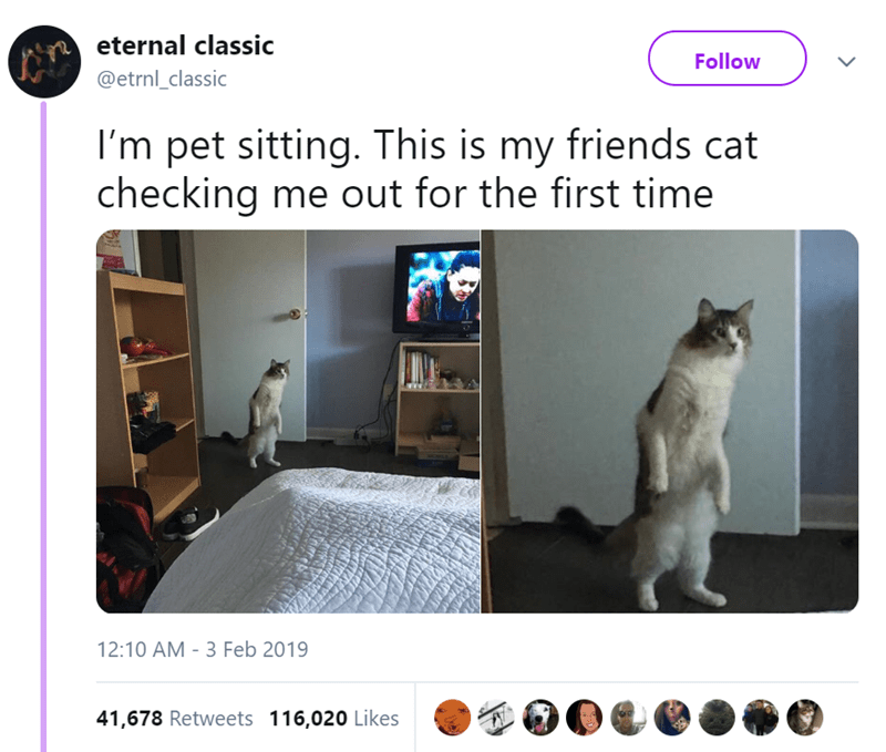 Cat - eternal classic Follow @etrnl_classic I'm pet sitting. This is my friends cat checking me out for the first time 12:10 AM - 3 Feb 2019 41,678 Retweets 116,020 Likes