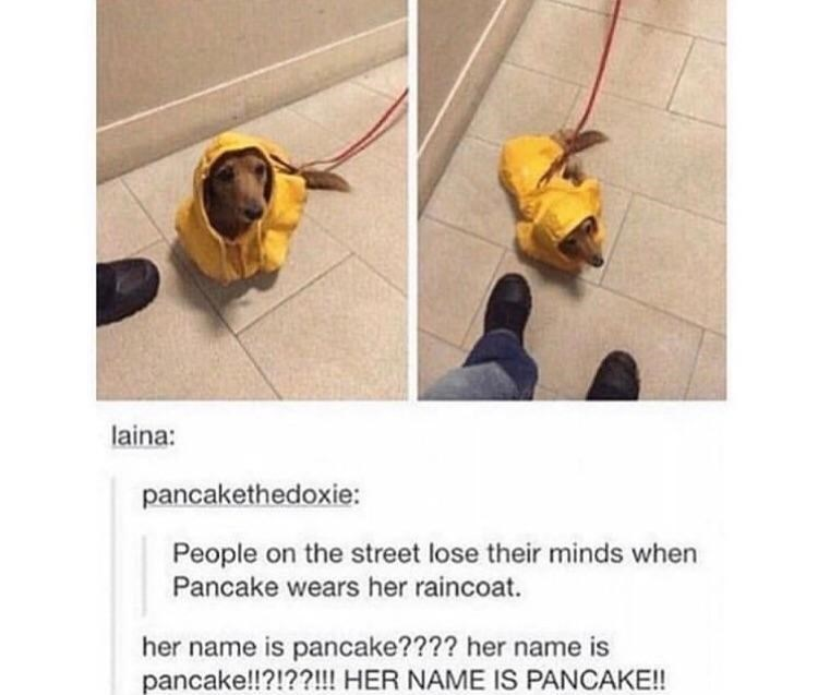 "Pics of a little dachshund wearing a yellow raincoat with Tumblr text that reads, ""Peopl on the street lose their minds when Pancake wears her raincoat"""
