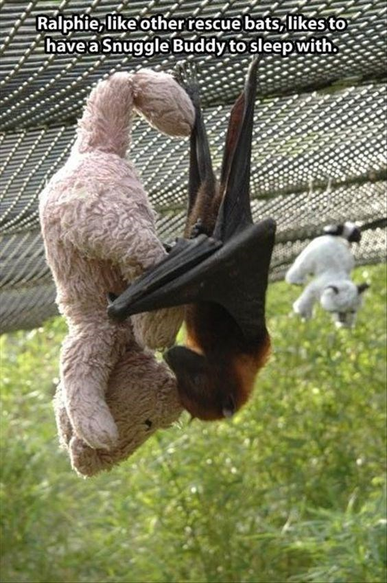 bats - Bird - Ralphie like otherrescue bats likesto have a Snuggle Buddy to sleep with