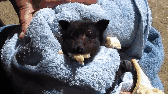 bats - Mammal