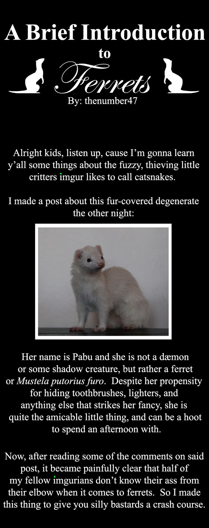 Photo caption - A Brief Introduction to Ferrets By: thenumber47 Alright kids, listen up, cause I'm gonna learn y'all some things about the fuzzy, thieving little critters imgur likes to call catsnakes. I made a post about this fur-covered degenerate the other night: Her name is Pabu and she is not a dæmon or some shadow creature, but rather a ferret or Mustela putorius furo. Despite her propensity for hiding toothbrushes, lighters, and anything else that strikes her fancy, she is quite the amica
