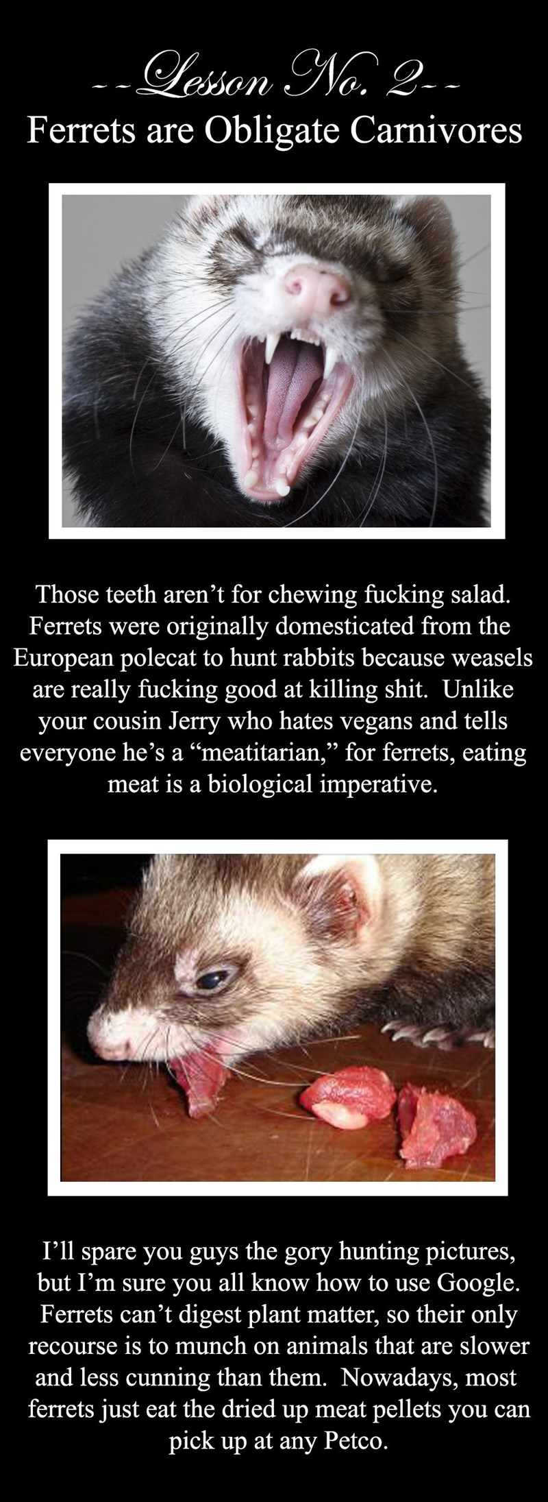 "Mammal - esson No. 2 Ferrets are Obligate Carnivores Those teeth aren't for chewing fucking salad. Ferrets were originally domesticated from the European polecat to hunt rabbits because weasels are really fucking good at killing shit. Unlike your cousin Jerry who hates vegans and tells everyone he's a ""meatitarian,"" for ferrets, eating meat is a biological imperative. the I'll spare you guys but I'm sure you all know how to use Google. Ferrets can't digest plant matter, so their only gory huntin"