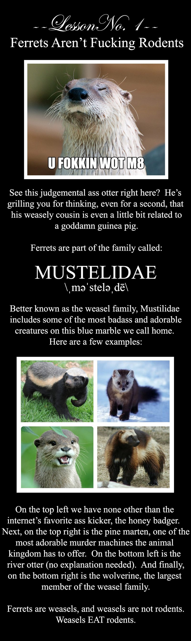 Wildlife - essonNo1-- Ferrets Aren't Fucking Rodents U FOKKIN WOT M8 See this judgemental ass otter right here? He's grilling you for thinking, even for a second, that his weasely cousin is even a little bit related to a goddamn guinea pig. Ferrets are part of the family called: MUSTELIDAE \,ma'stela, dēl Better known as the weasel family, Mustilidae includes some of the most badass and adorable creatures on this blue marble we call home. Here are a few examples: On the top left we have none oth