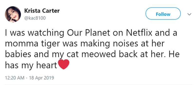 cat watching tv - Text - Krista Carter Follow @kac8100 I was watching Our Planet on Netflix and a momma tiger was making noises at her babies and my cat meowed back at her. He has my heart 12:20 AM -18 Apr 2019