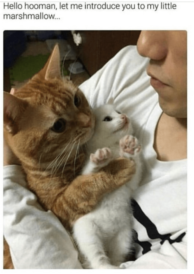 Cat - Hello hooman, let me introduce you to my little marshmallow...