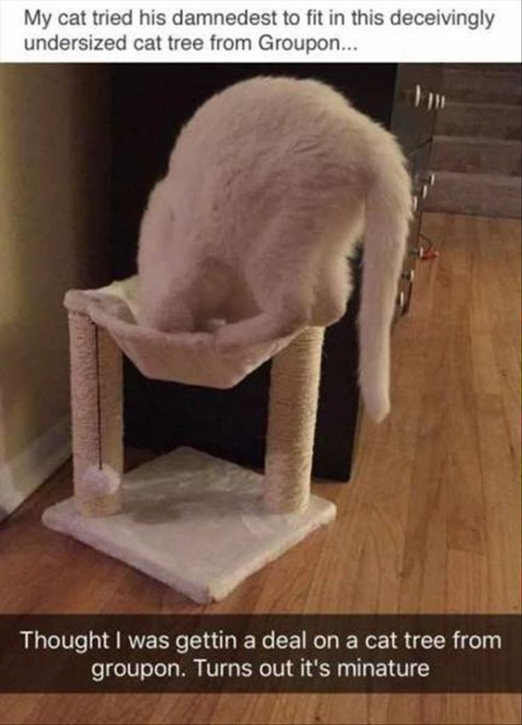 Cat - My cat tried his damnedest to fit in this deceivingly undersized cat tree from Groupon... Thought I was gettin a deal on a cat tree from groupon. Turns out it's minature