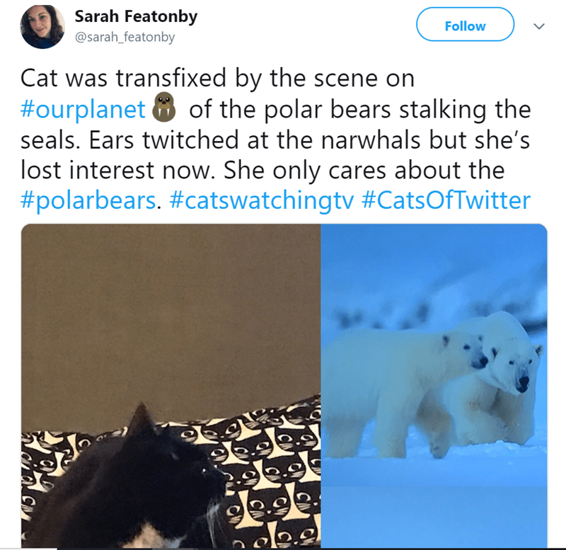 cat watching tv - Polar bear - Sarah Featonby Follow @sarah_featonby Cat was transfixed by the scene on #ourplanet of the polar bears stalking the seals. Ears twitched at the narwhals but she's lost interest now. She only cares about the #polarbears. #catswatchingtv #CatsOfTwitter