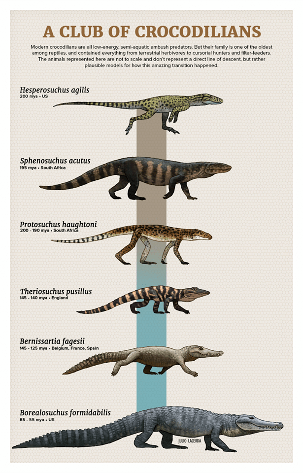 Poster - A CLUB OF CROCODILIANS Modern crocodilians are all low-energy, semi-aquatic ambush predators. But their family is one of the oldest among reptiles, and contained everything from terrestrial herbivores to cursorial hunters and filter-feeders. The animals represented here are not to scale and don't represent a direct line of descent, but rather plausible models for how this amazing transition happened. Hesperosuchus agilis 200 mya US Sphenosuchus acutus 195 mya South Africa Protosuchus ha