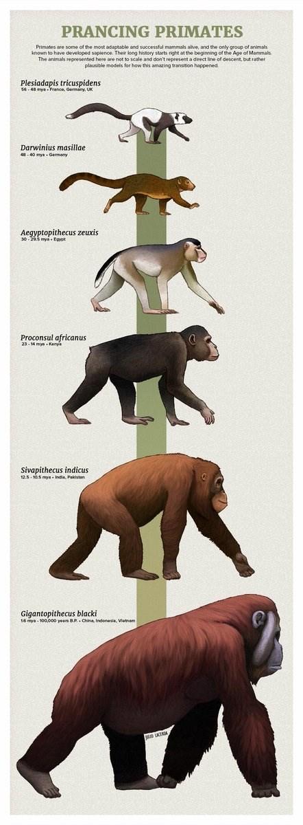 Cartoon - PRANCING PRIMATES Plesiadapis tricuspidens Darwinius masillae Aegyptopithecus zeuxis Proconsul africanus Sivapithecus indicus Gigantopithecus blacki
