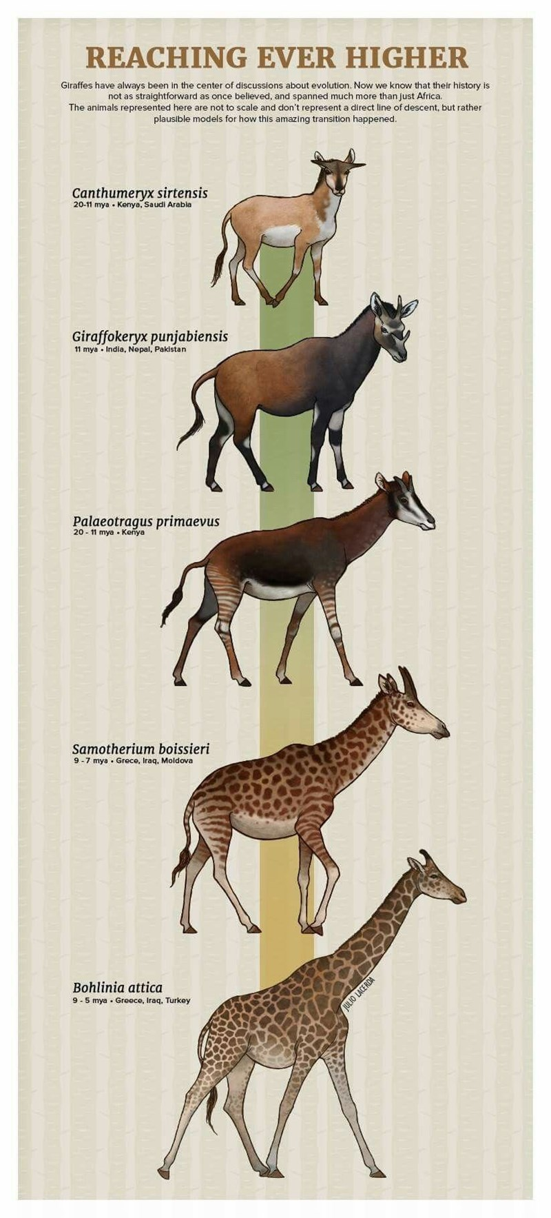 Wildlife - REACHING EVER HIGHER Giraffes have always been in the center of discussions about evolution. Now we know that their history is not as straightforward as once belleved, and spanned much more than just Africa. The animals represented here are not to scale and don't represent a direct line of descent, but rather plausible models for how this amazing transition happened. Canthumeryx sirtensis 20-11 mya Kenya, Saudi Arabia Giraffokeryx punjabiensis 11 mya India, Nepal, Pakistan Palaeotragu
