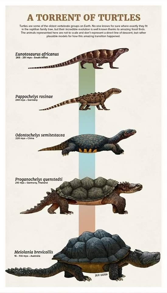 Turtle - A TORRENT OF TURTLES Turtles are some of the oldest vertebrate groups on Earth. No one knows for sure where exactly they fit in the reptilian family tree, but their incredible evolution is well known thanks to amazing fossil finds The animals represented here are not to scale and don't represent a direct line of descent, but rather plausible models for how this amazing transition happened. Eunotosaurus africanus 265-251 mya South Africa Pappochelys rosinae 240 mya Germamy Odontochelys s