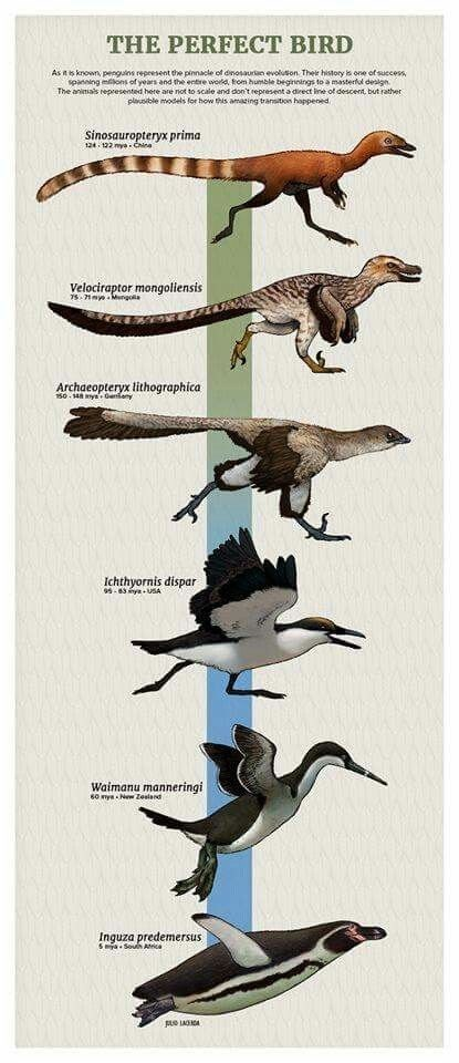 Bird - THE PERFECT BIRD As n s known, penguins repeesent the pinnacle of dnosauran evoluton Ther history s one of success spaneing ons of years and the entre wod om humble beginnings to a masterful deslgn The animals repesented here are not to scale and don't represent a direct ine of descent, but rather plausible models for how this amacing transiton happened Sinosauropteryx prima t2 122my Ca Velociraptor mongoliensis 7s 1myMngoa Archaeopteryx lithographica 50-148 ys Ganany Ichthyornis dispar 9