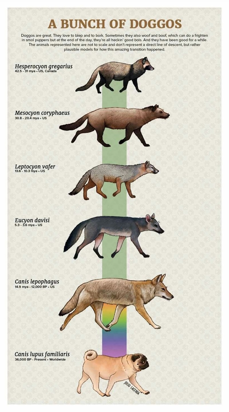 Animal figure - A BUNCH OF DOGGOS Doggos are great. They love to blep and to bork. Sometimes they also woof and boof, which can do a frighten in smol puppers but at the end of the day, they're all heckin' good bois. And they have been good for a while. The animals represented here are not to scale and don't represent a direct line of descent, but rather plausible models for how this amazing transition happened Hesperocyon gregarius 42.5-31 mya .us, Canada' Mesocyon coryphaeus 30.8 20.4 mya US Le