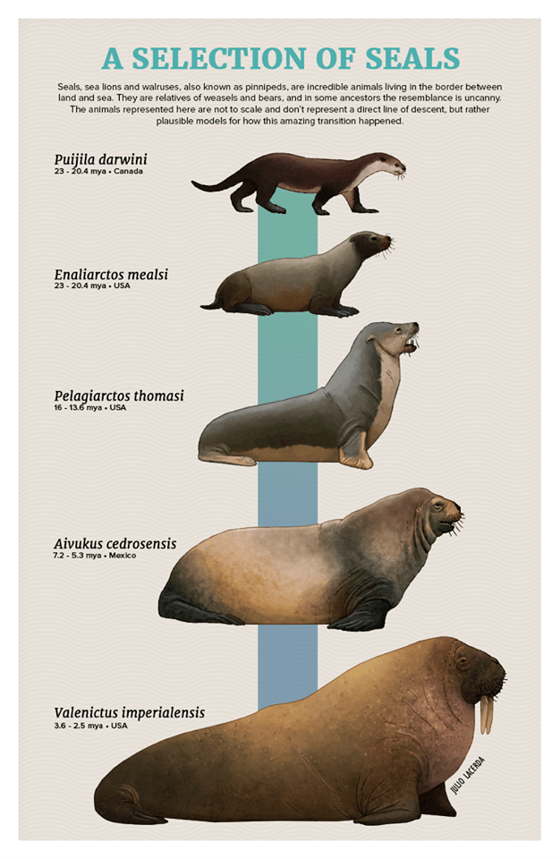 Organism - A SELECTION OF SEALS Seals, sea lions and walruses, also known as pinnipeds, are incredible animals living in the border between land and sea. They are relatives of weasels and bears, and in some ancestors the resemblance is uncanny. The animals represented here are not to scale and don't represent a direct line of descent, but rather plausible models for how this amazing transition happened. Puijila darwini 23-20.4 mya Canada Enaliarctos mealsi 23-20.4 mya USA Pelagiarctos thomasi 16