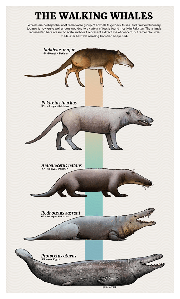 Animal figure - THE WALKING WHALES Whales are perhaps the most remarkable group of animals to go back to sea, and their evolutionary journey is now quite well understood due to a variety of fossils found mostly in Pakistan. The animals represented here are not to scale and don't represent a direct line of descent, but rather plausible models for how this amazing transition happened. Indohyus major 48-40 mya Pakistan Pakicetus inachus 52-48 mya Pakistan Ambulocetus natans 47-41 mya Pakistan Rodho