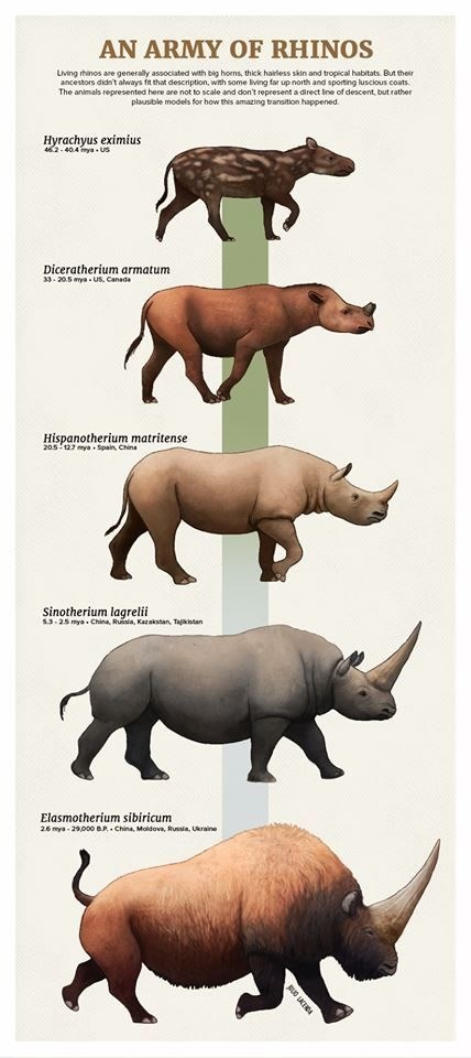 Vertebrate - AN ARMY OF RHINOS Lving thinos are generaly associated with big horns, thick hairless skin and tropical habitats. But their ancestors didn't always fit that description, with some living far up north and sporting luscious coats. The animals represented here are not to scale and don't represent a direct Ine of descent but rather plausible models for how thes amazing transition happened. Hyrachyus eximius 462-40.4 mya-US Diceratherium armatum 33-20.5 myaus, Canada Hispanotherium matri