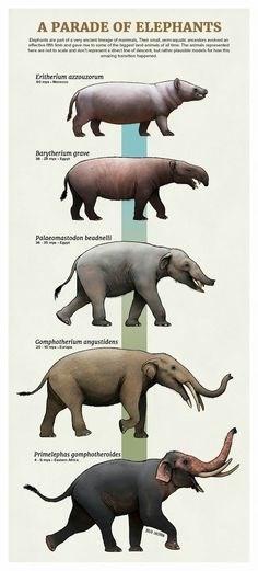 Vertebrate - A PARADE OF ELEPHANTS Eritherium arouroram Barytheriam greve Paloromastodon beadsell Gomphotherium angustidens rimeephas gmphatheroides