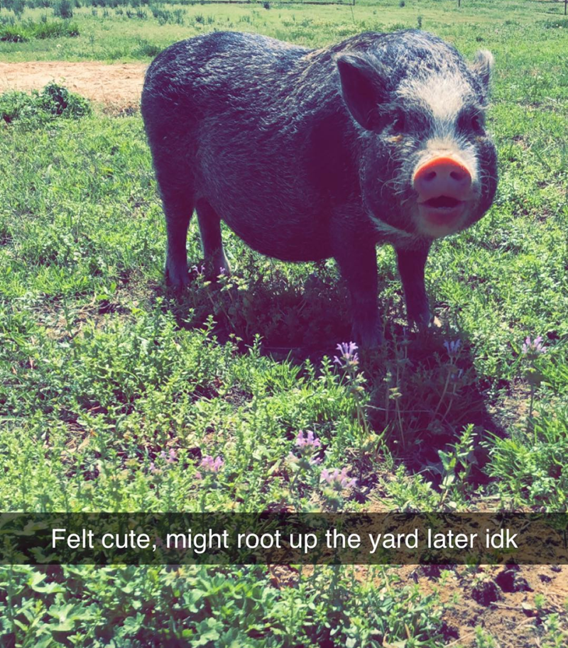 Domestic pig - Felt cute, might root up the yard later idk