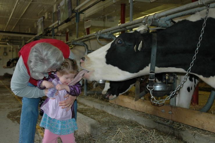 perfect timing pics - Dairy cow