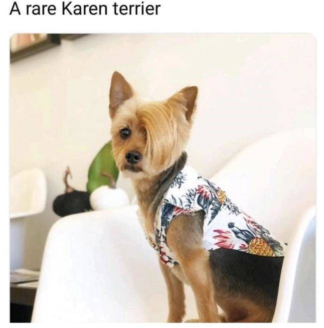 """Caption that reads, """"A rare Karen terrier"""" above a pic of a cairn terrier with a silly-looking haircut"""