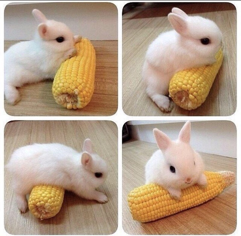 Easter meme of a bunny playing with a piece of corn on the cob
