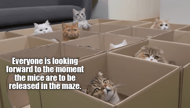 cat meme - Cat - Everyone is looking forward to the moment the mice are to be released in the maze.