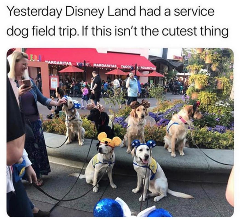 "Dog - Yesterday Disney Land had a service dog field trip. If this isn't the cutest thing ""ARGARITAS MARGARITAS TACOS 20ARITAS"