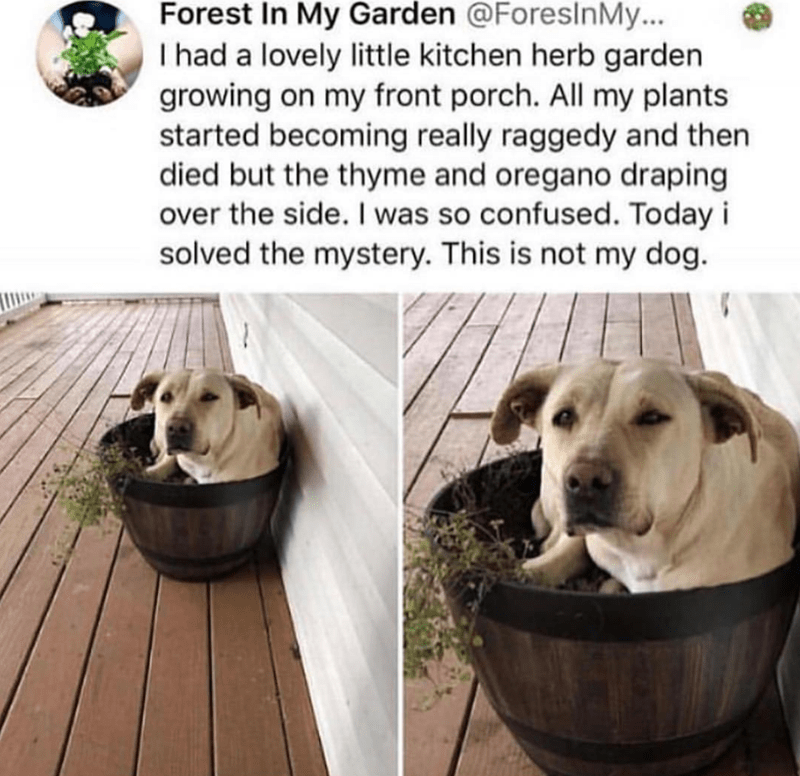 Dog breed - Forest In My Garden @ForeslnMy... I had a lovely little kitchen herb garden growing on my front porch. All my plants started becoming really raggedy and then died but the thyme and oregano draping over the side. I was so confused. Today i solved the mystery. This is not my dog.