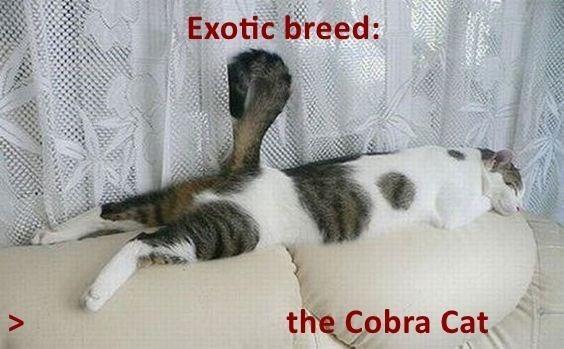 Cat - Exotic breed: the Cobra Cat