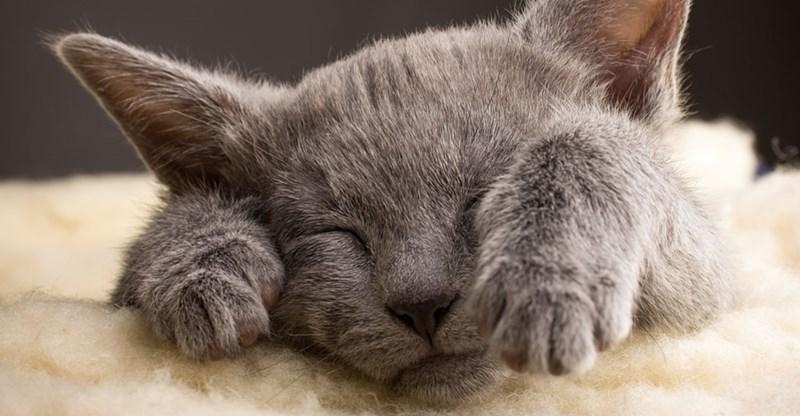 Cute cats - Russian Blue cat cute when sleeping